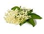 Gudes Zeich - Holunderblüten